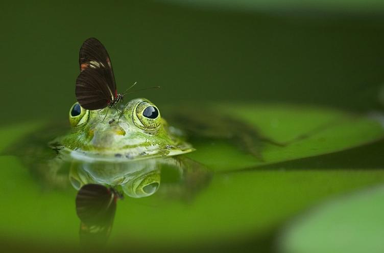 An optimistic frog